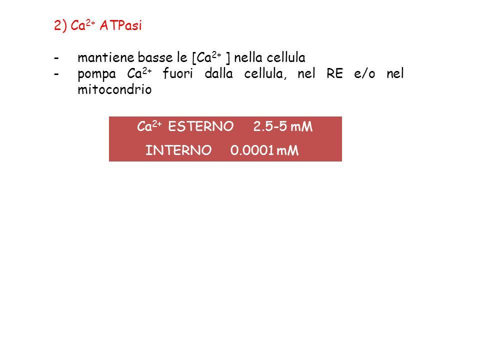 2) Ca2+ ATPasi mantiene basse le [Ca2+ ] nella cellula. pompa Ca2+ fuori dalla cellula, nel RE e/o nel mitocondrio.